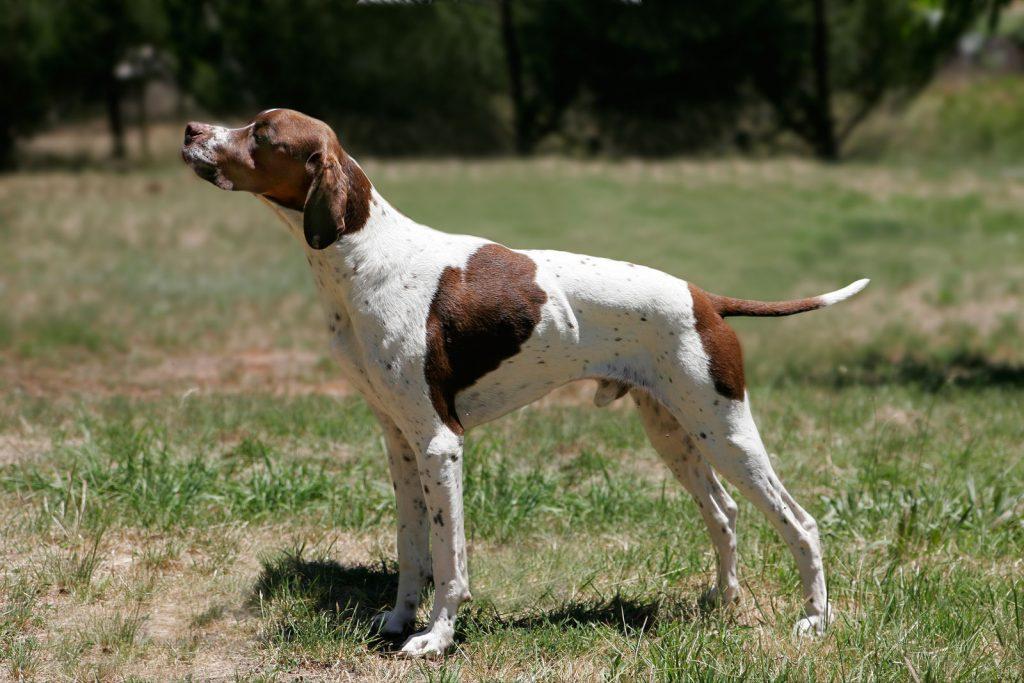 pointer-aktiv-hund