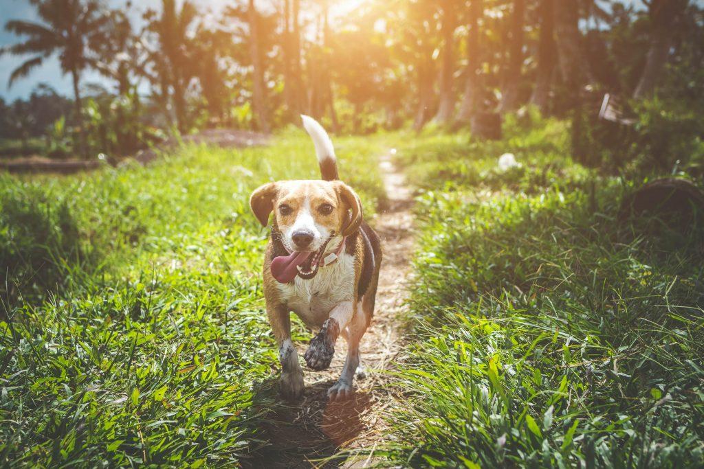 beagle-familiehund
