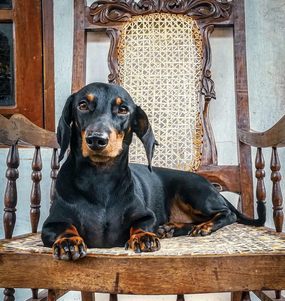 gravhund-doven-hund