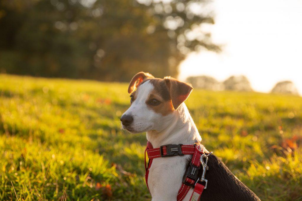 jack-russell-aktiv-hund