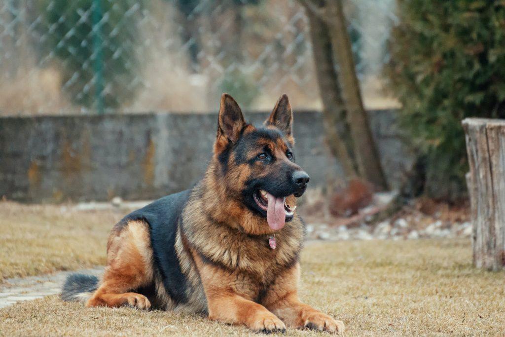 schæfer-familiehund