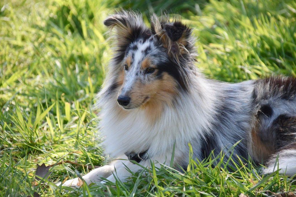 shetland-sheepdog-aktiv-hund