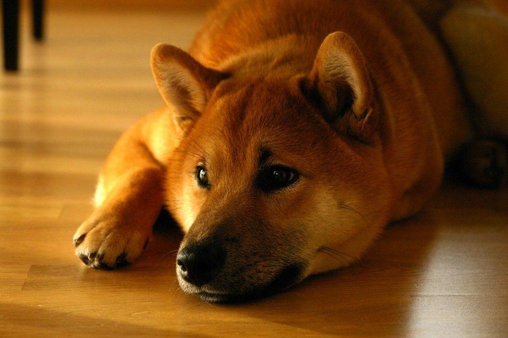 shiba-inu-selvstaendig-hund