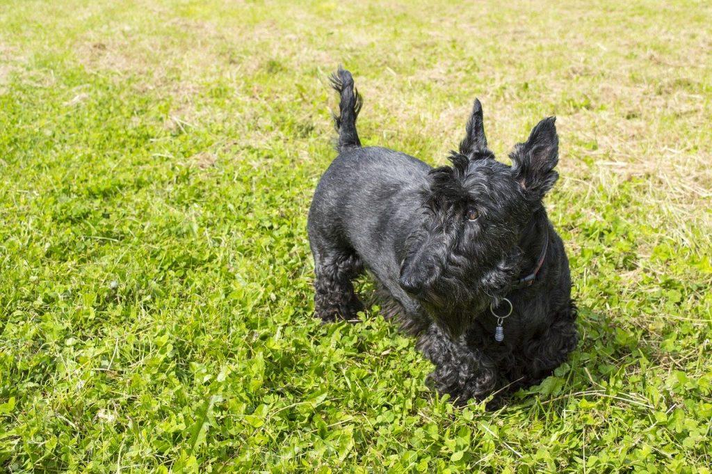 skotsk-terrier-doven-hund