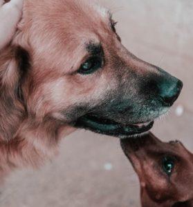 hund-slikker-hund