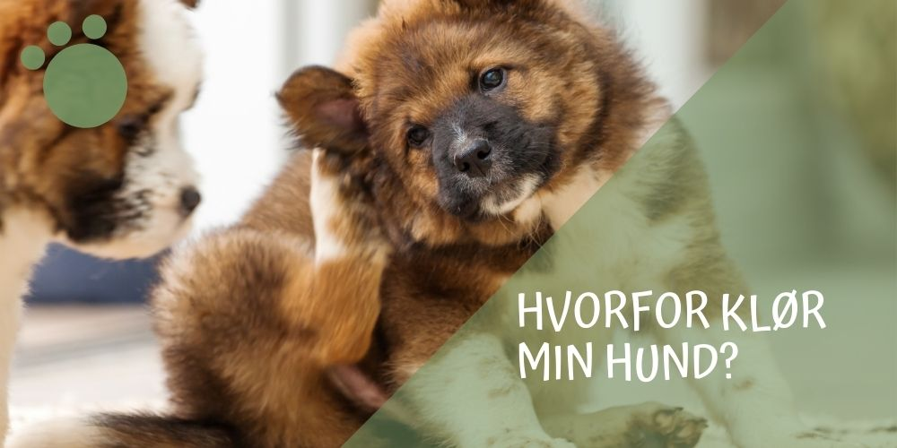 hvorfor-kloer-min-hund-featured