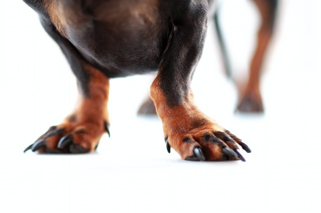 hundenegle